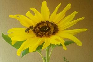 Balkonglück für Bienen: Biene auf Sonnenblume