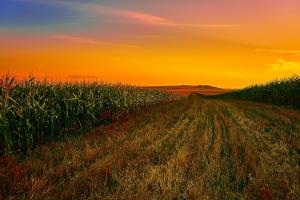 Bienendämmerung: Dieses Maisfeld ist für sie eine Lebensmittelwüste.